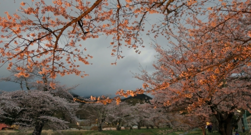 Sakura-030